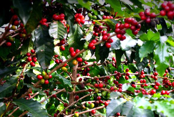 Os sons do cafezal